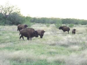 bison6