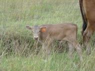 Dun slick bull