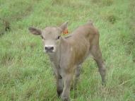 Dun slick heifer