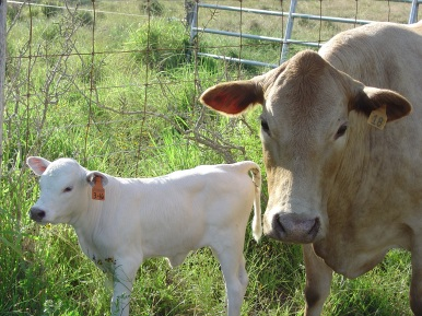 White heifer with dam
