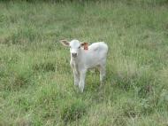 White slick bull