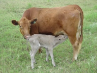 Dun slick bull with dam