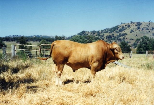 pin tuli cattle crossbreeds - photo #15
