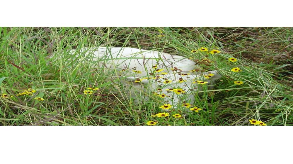 White heifer2