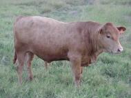 Bull calf 13-2015