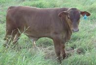 Bull calf 15-2010