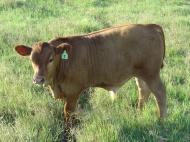 Bull calf 7-2011
