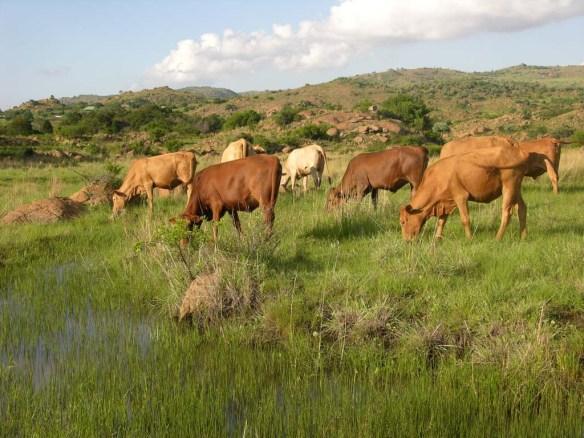 Cattle on Blomvlei December 07