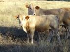 DOB - May 24, BW 67 lbs, 205-d adj. WW 563.8 lbs, sire - LR Blondie JR, dam - LR Jeff, mgs - LR Grey bull, 25.8% Red Angus, 39.1% Senepol, 34.4% Tuli, 0.8% commercial. EPDs: BW -1.88 (ACC 0.71) WW -13.92 (ACC 0.54) MILK 3.09 (ACC 0.30) TM -3.87