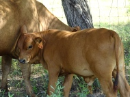 Star bull calf (14.1% Red Angus, 64.1% Senepol, 21.9% Tuli, 1.6% other). Tropical genetics = 85.9%. Sire - WC 950K (Senepol); Maternal grand sire - LR Grey Bull