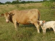 Bull #7 dam (age 4 years)