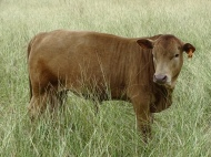 Mashona X Star bull calf (50% Mashona, 15.6% Red Angus, 6.3% Senepol, 28.1% Tuli). Tropical genetics = 84.4%. Maternal grand sire - Honey Bear (Tuli)