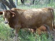 Mashona X Star bull calf (50% Mashona, 18.8% Red Angus, 12.5% Senepol, 18.8% Tuli). Tropical genetics = 81.3%. Maternal grand sire - LR Grey Bull