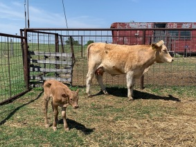Star X Beefmaster heifer with Star-sired calf. Owned by Kim Barker, Waynoka, OK.