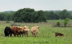 First-time heifers with Tarzan-sired Star bull (left) owned by Dr. Rick Schultz, Florence, TX